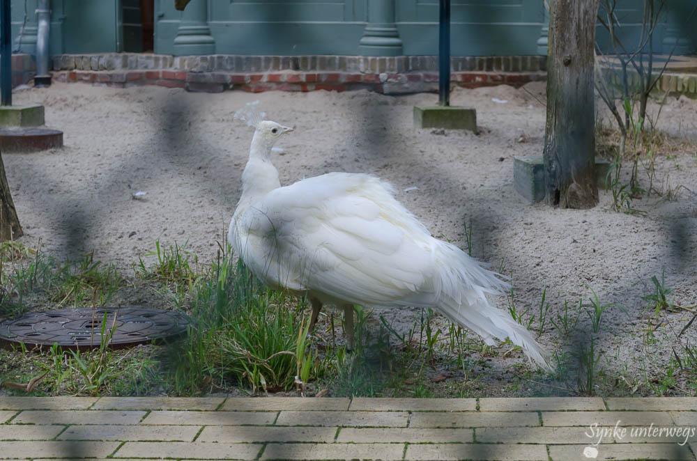 Ein weißer Pfaue in der Voilaire auf der Pfaueninsel