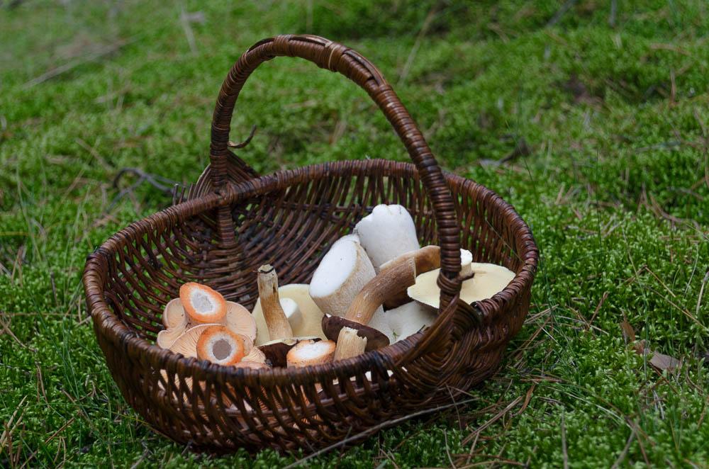 Pilze sammeln in Brandenburg