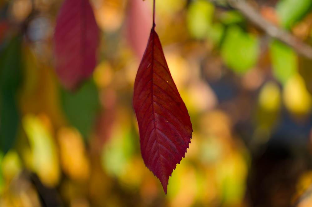 Kirschblätter im Herbst #Berlin